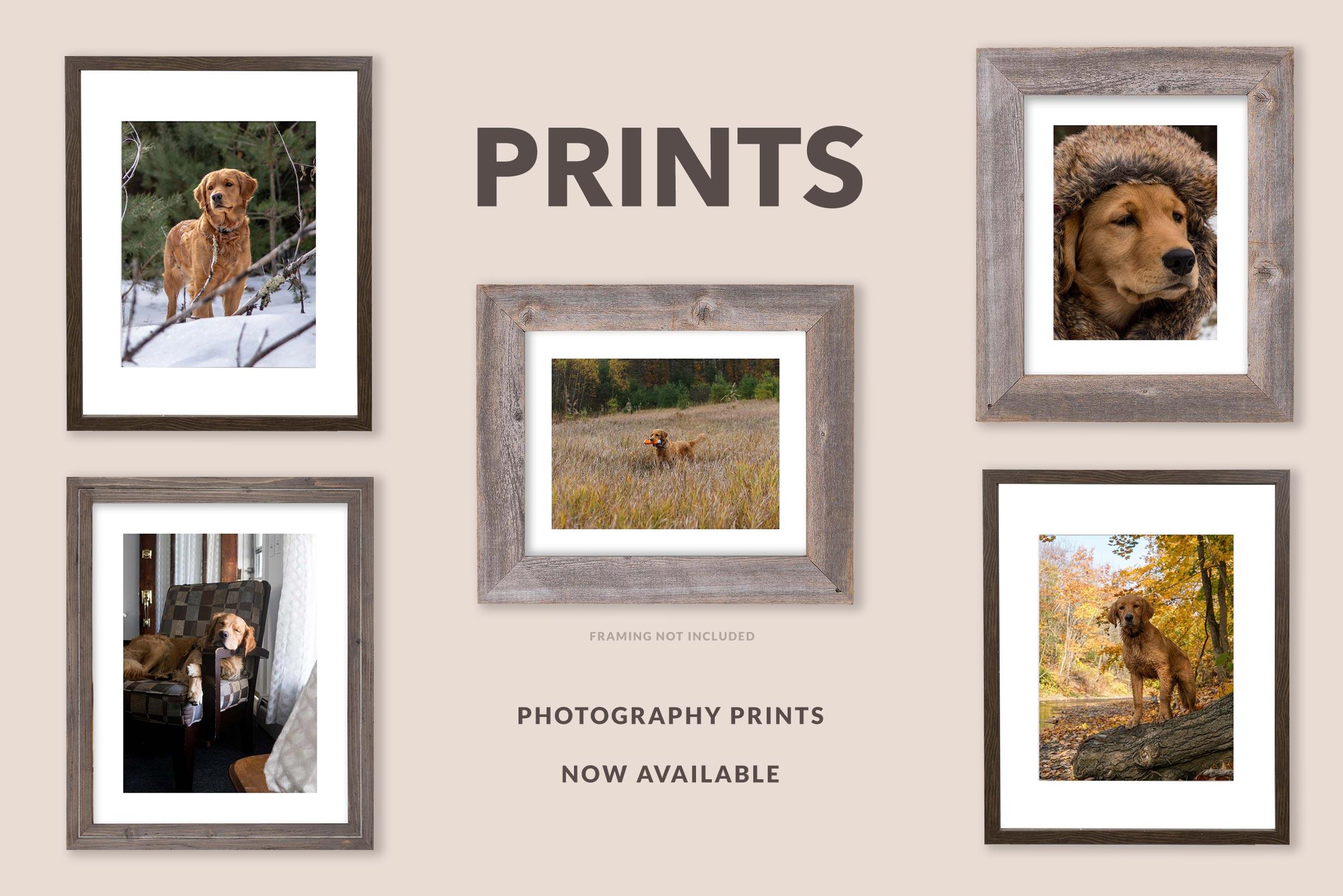 Fine Art Golden Retriever Photo prints